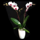 Orchidée diam 12,5cm