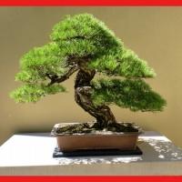 Special bonsaï